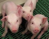 ¿Nació la Gripe Porcina en La Gloria (México)?