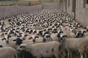 El éxito de la 'manada' en España