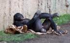 Los orangutanes vuelven a la política y la democracia está en peligro.